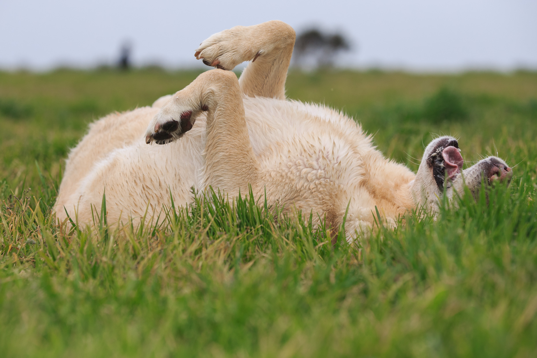 Dog Lifestyle Photography | Labrador Rolling in Grass by Mark Rogers