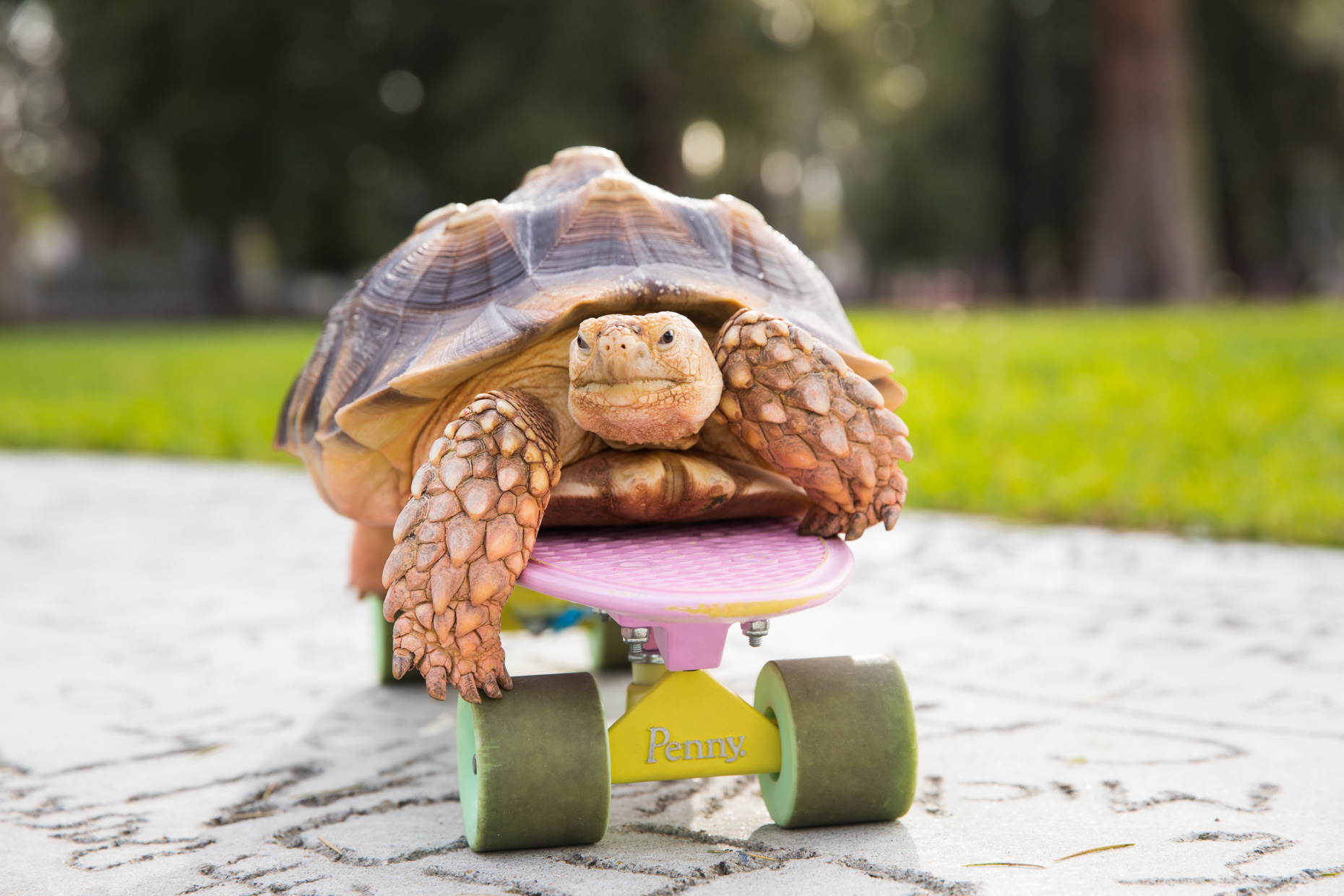Animal Photography | Tortoise on Skateboard by Mark Rogers