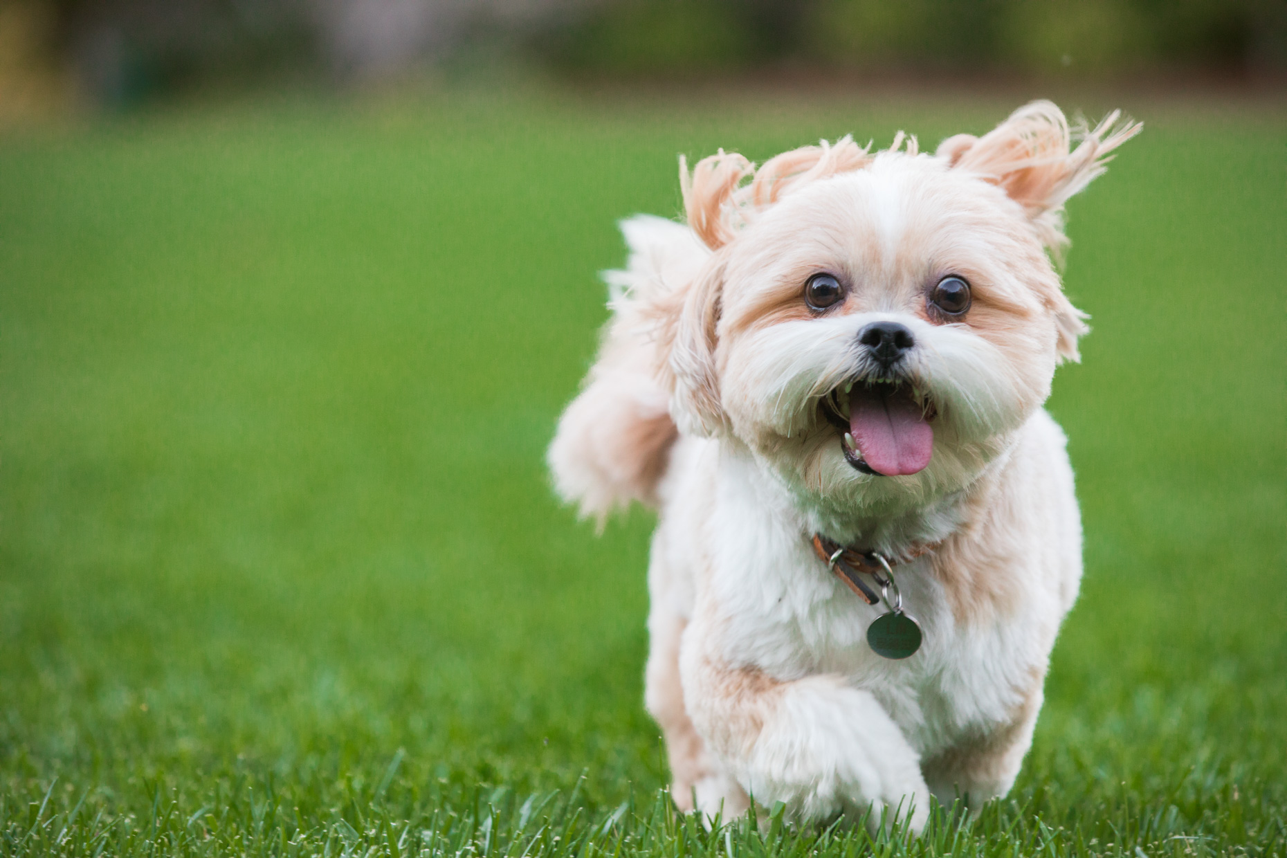 Dog and Pet Photography | Lhasa Apso Running by Mark Rogers