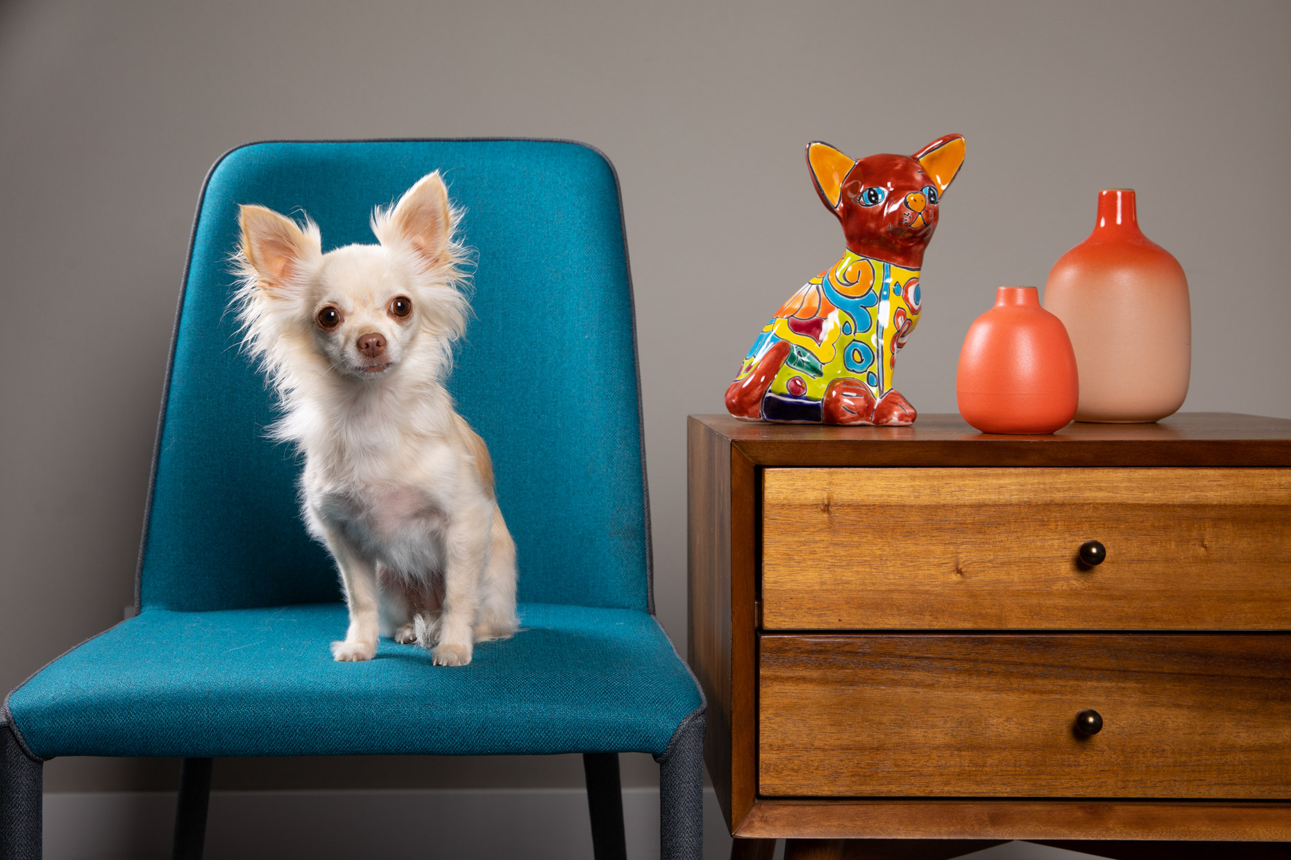 Dog Studio Photography | Chihuahua on Chair by Mark Rogers