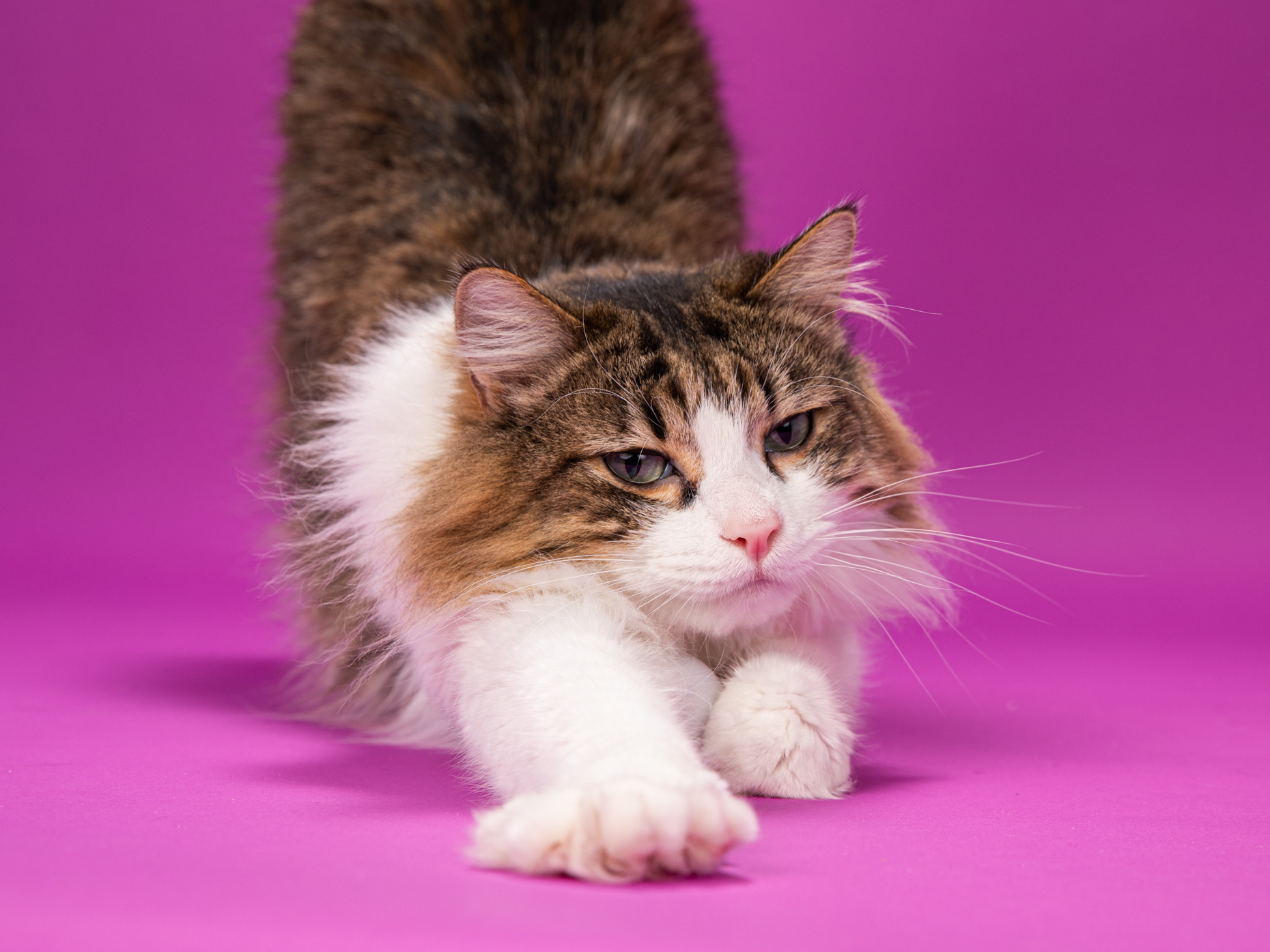 cat stretching against  purple background