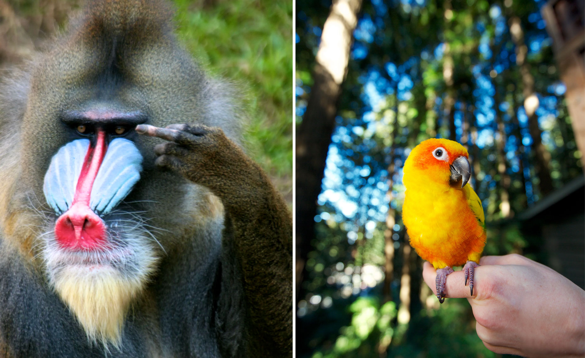 Animal Photography | Mandrill Monkey Sun Conure Bird by Mark Rogers