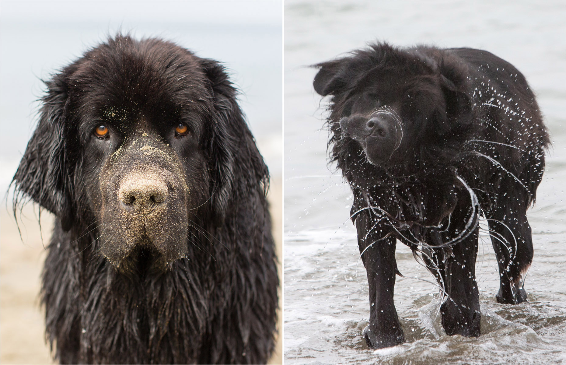 Dog Photography | Newfoundland Dog by Mark Rogers