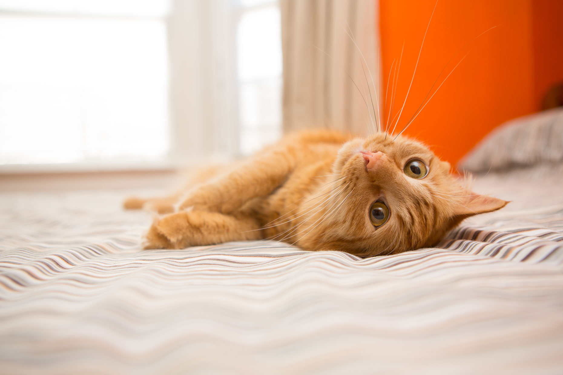 Pet Photography | Orange Cat Upside Down by Mark Rogers