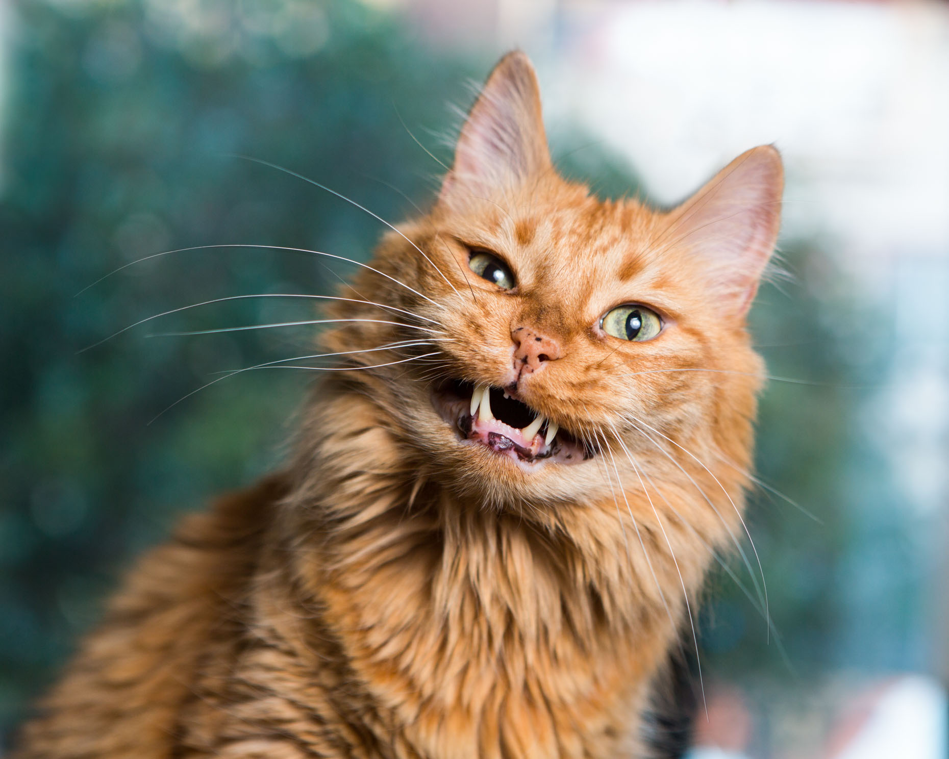 Commercial Pet Photography | Orange Cat Chewing by Mark Rogers