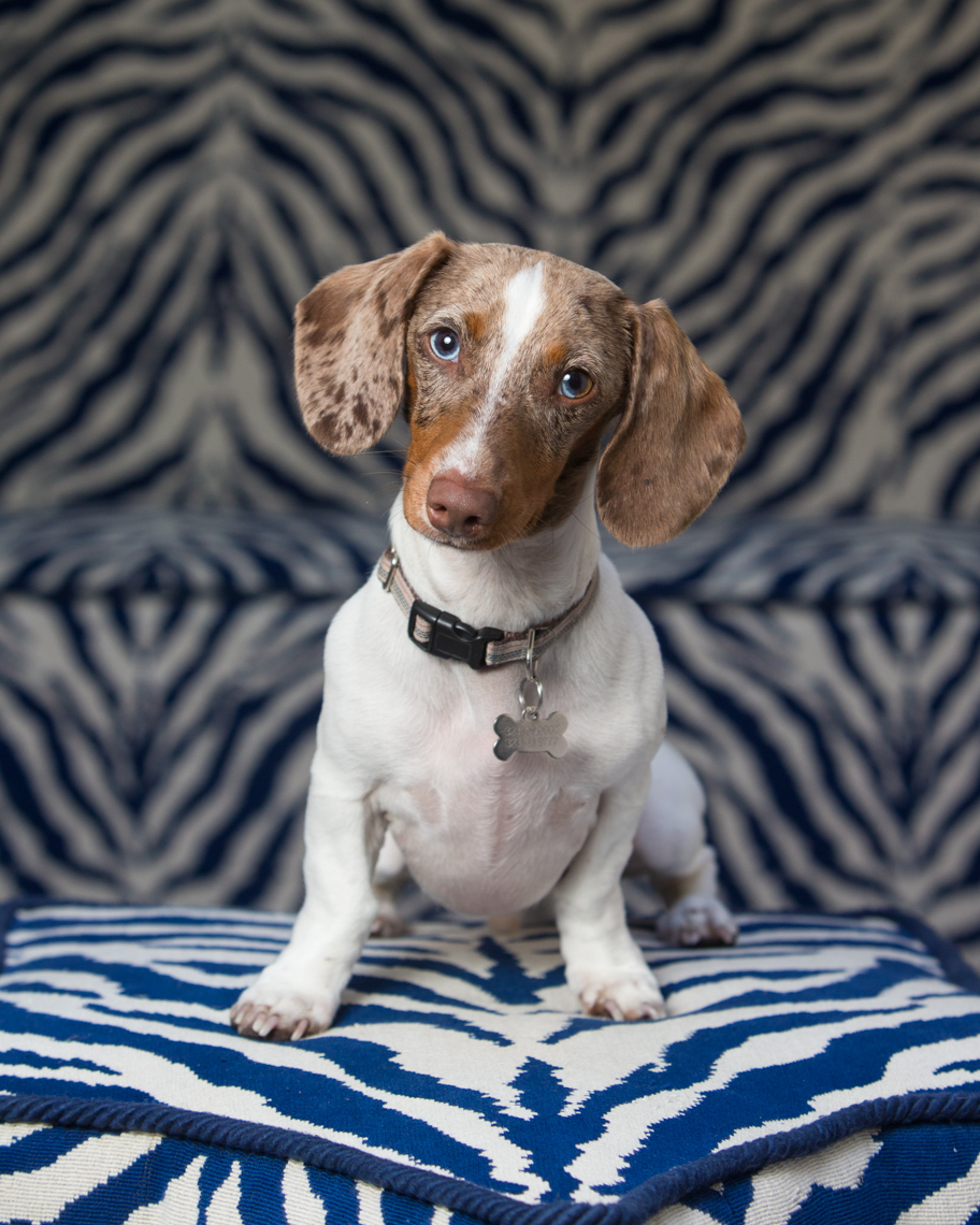 Dog Studio Photography | Dachshund on Zebra Pattern by Mark Rogers