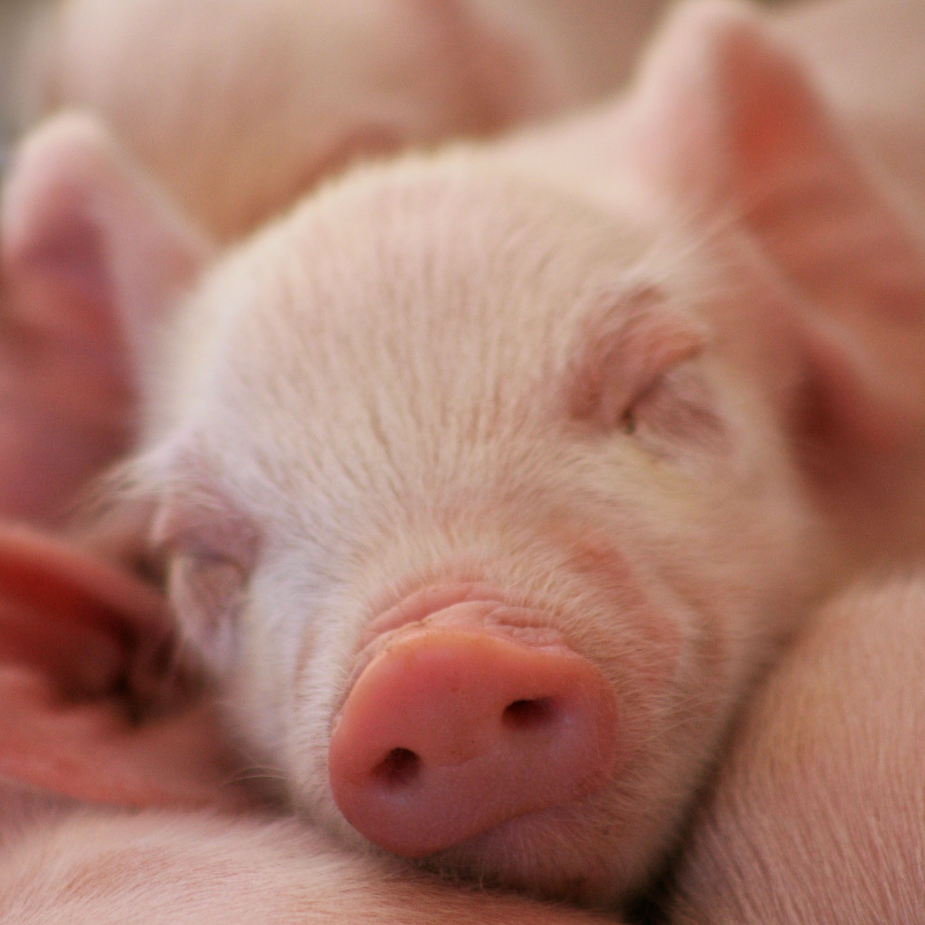 Animal Photography | Piglet Sleeping by Mark Rogers