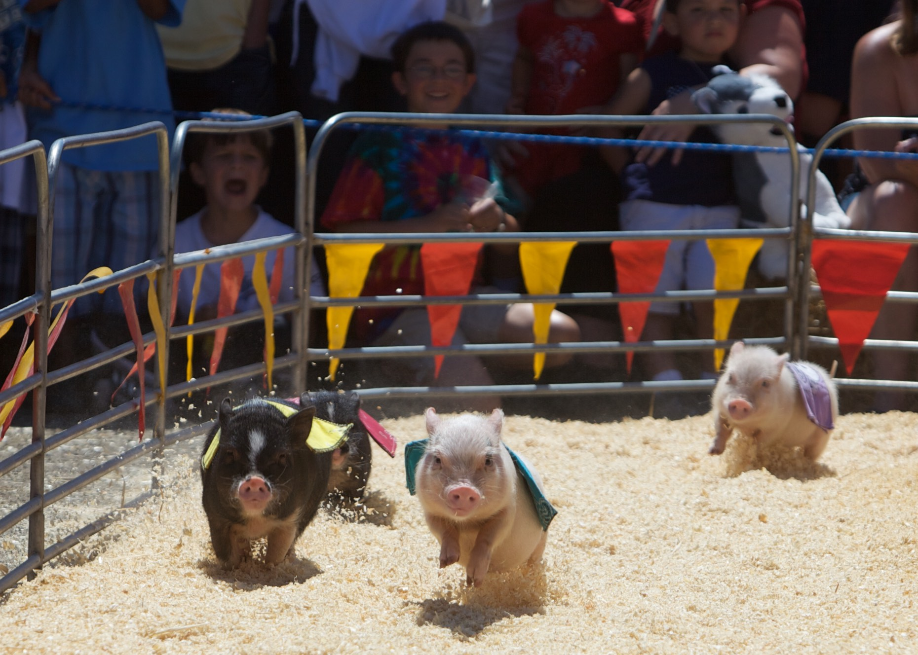 Animal Photography | Pig Race by Mark Rogers