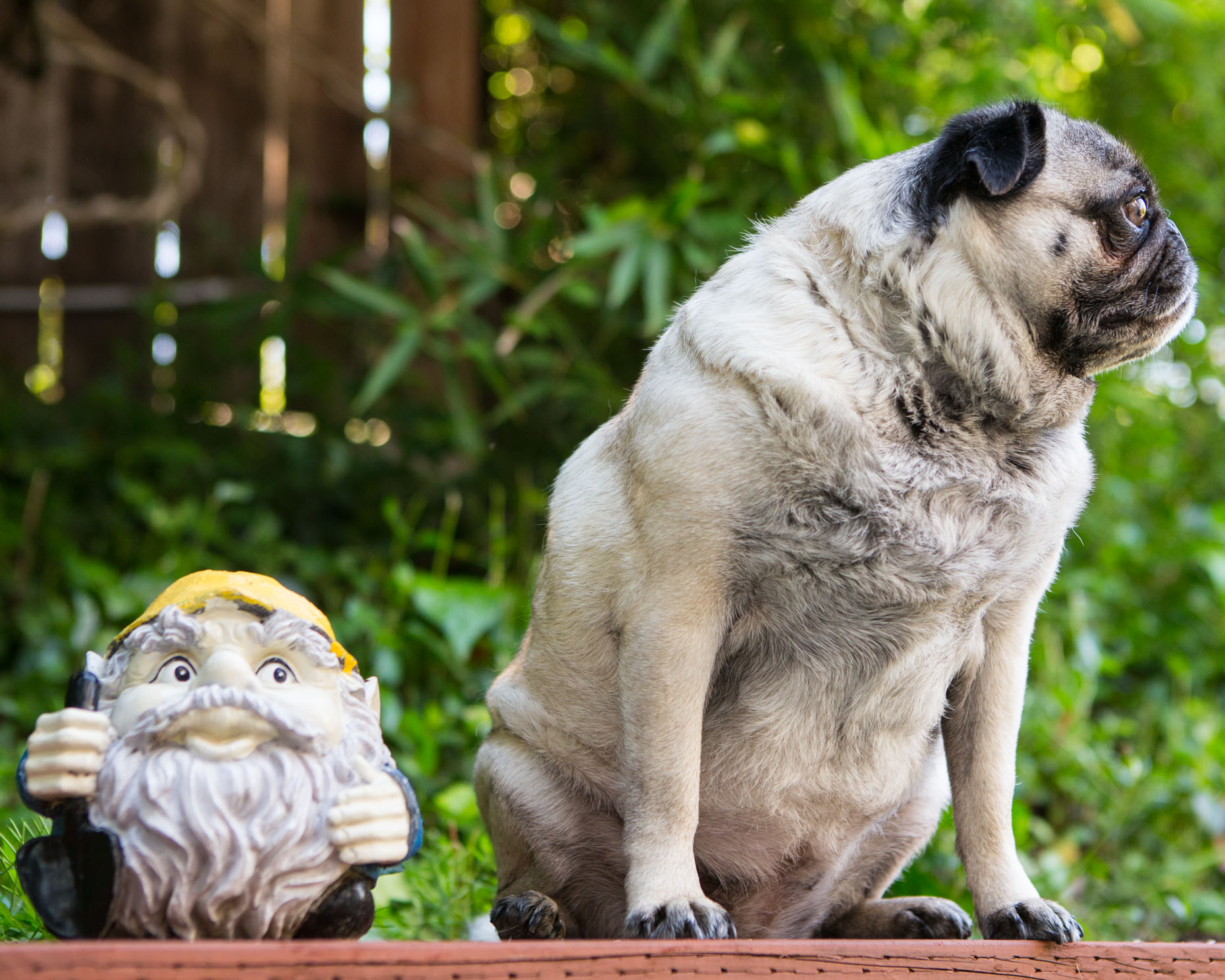 Humorous Dog Photography | Pug Looking Away by Mark Rogers