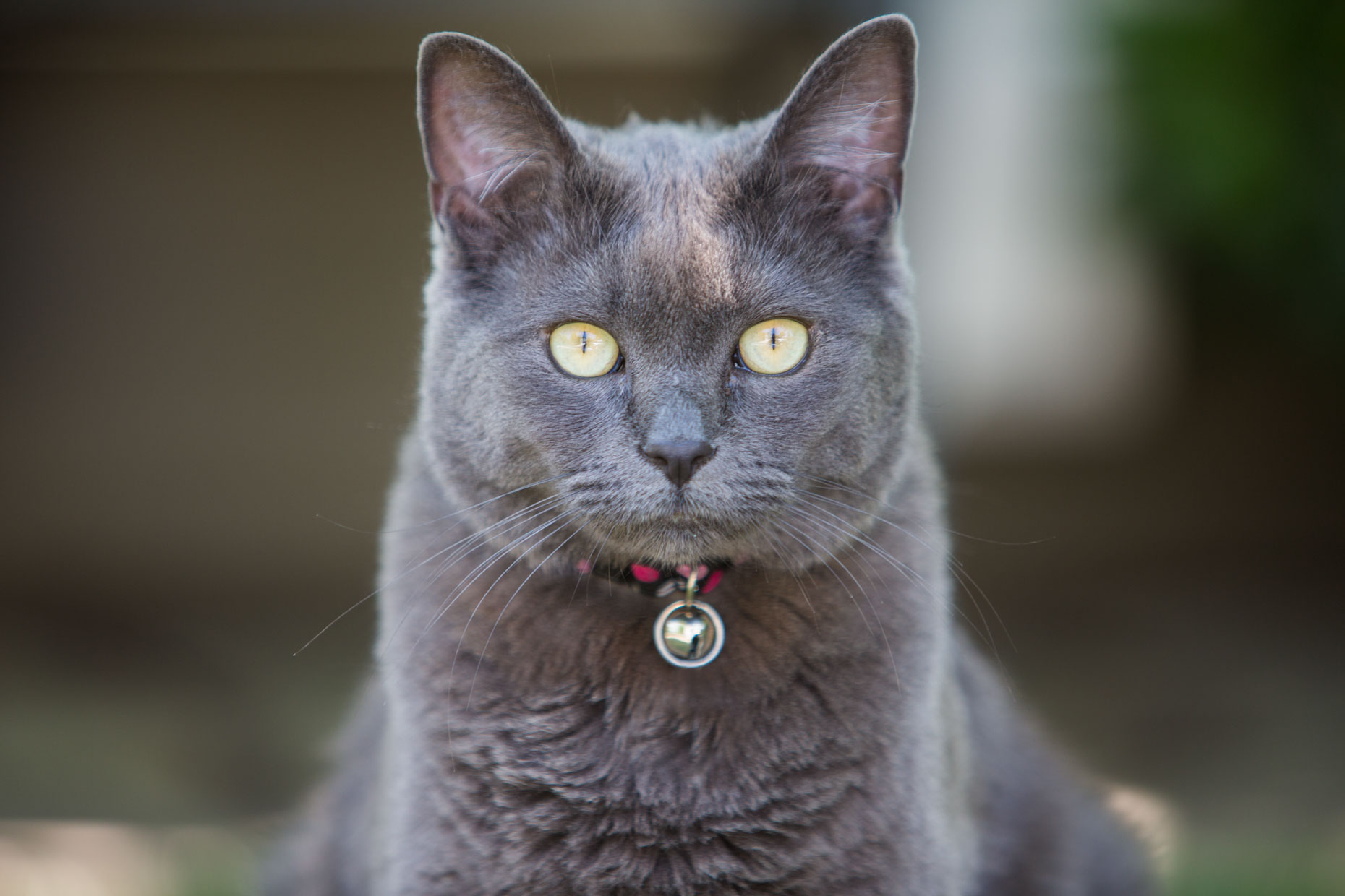 Commercial Pet Photography | Russian Blue Cat by Mark Rogers