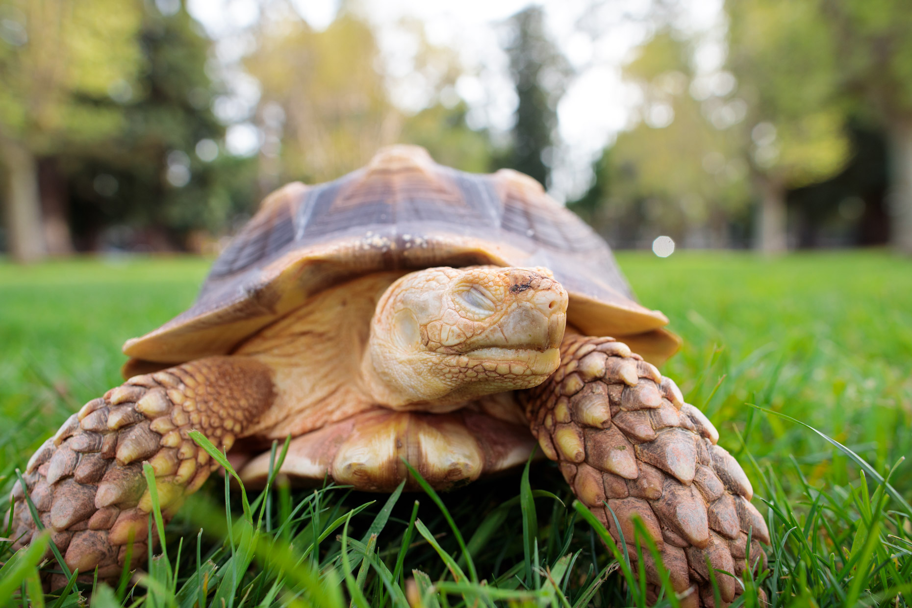 Animal Photography | Blinking Salcata Tortoise by Mark Rogers