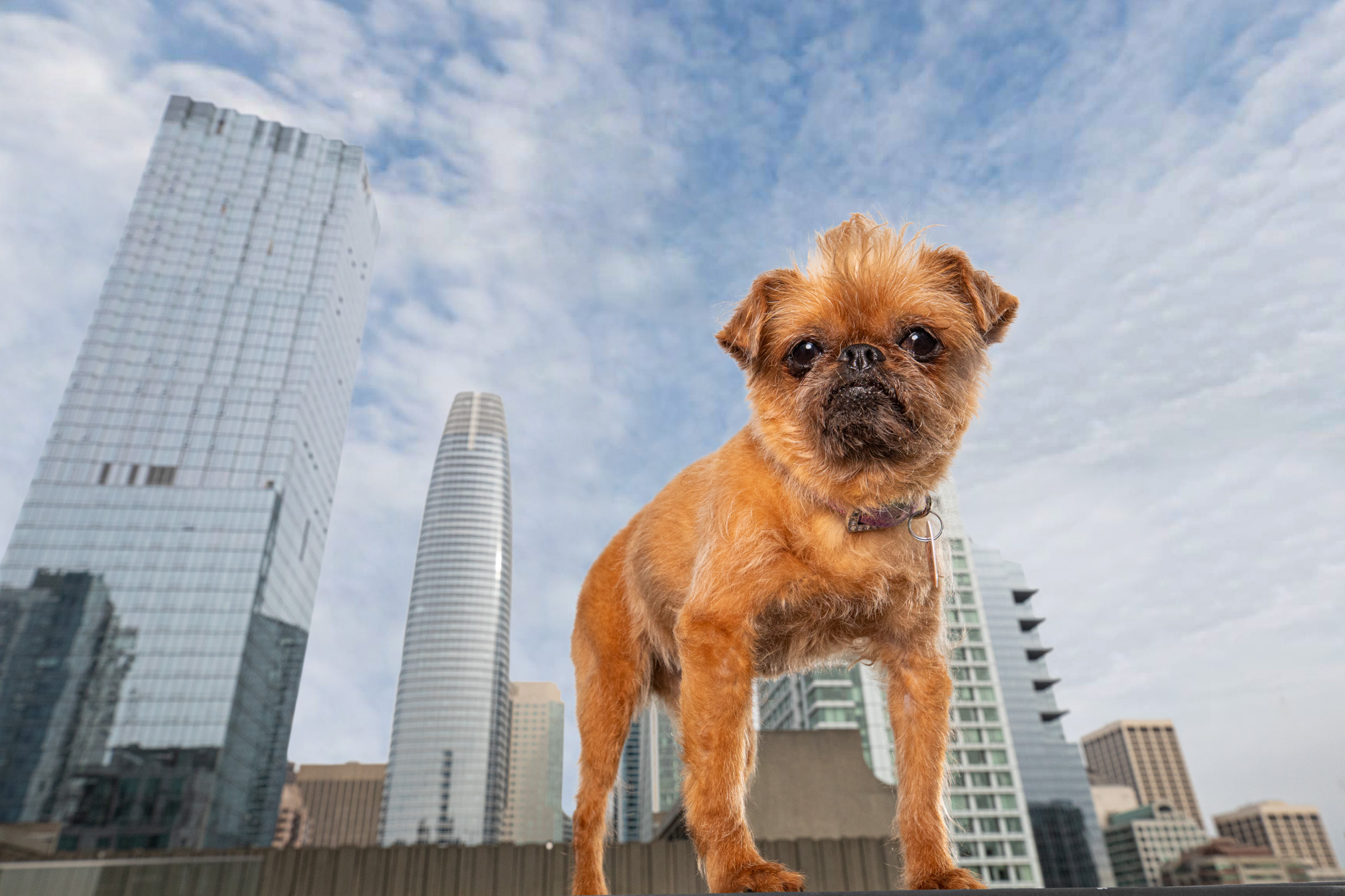 Commercial Pet Photography | Brussels Griffon and San Francisco by Mark Rogers