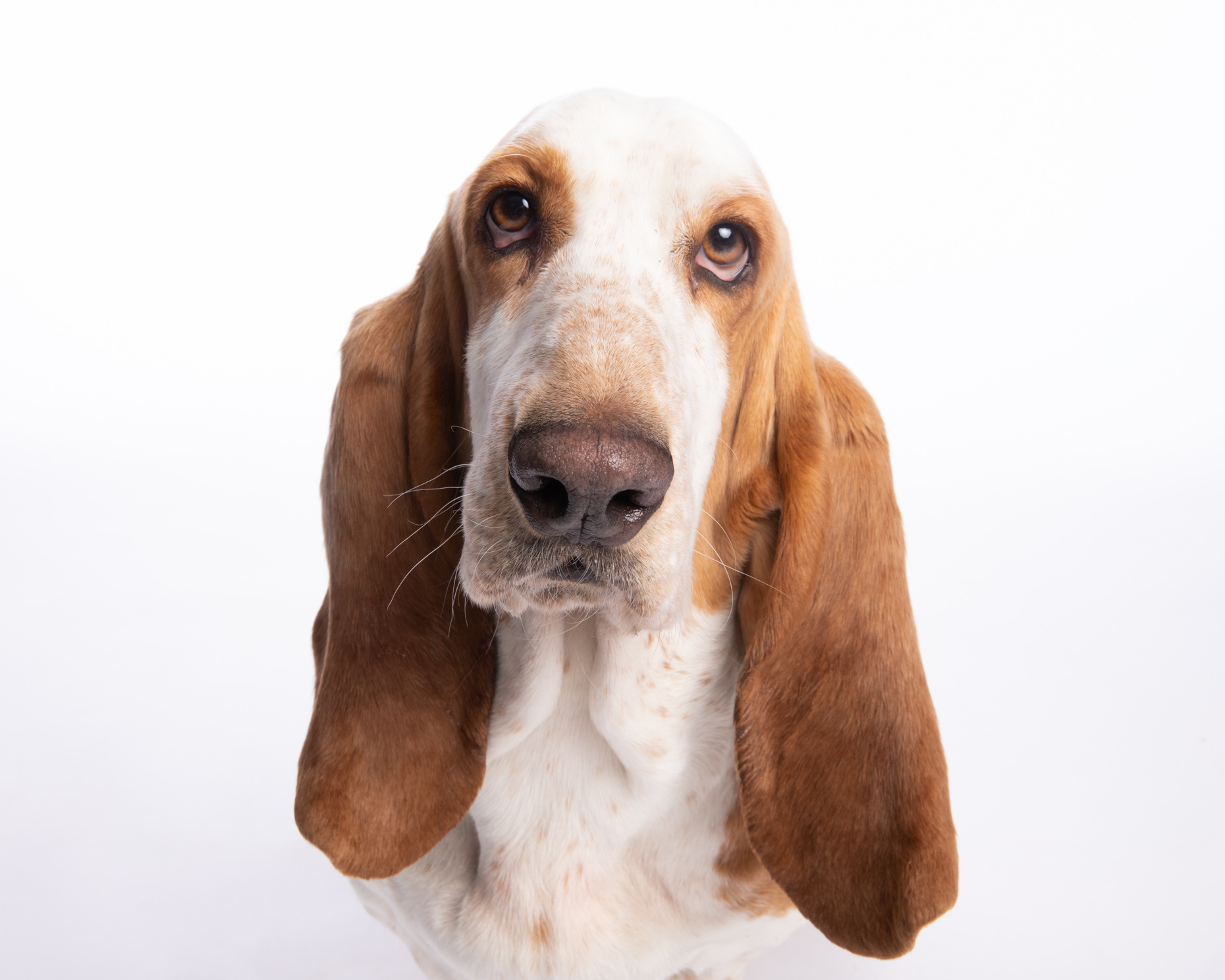 Dog Studio Photography | Serious-Looking Basset Hound by Mark Rogers