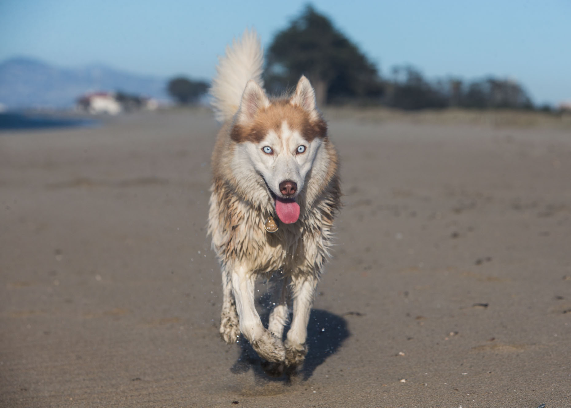 Dog Photography | Husky Running by Mark Rogers