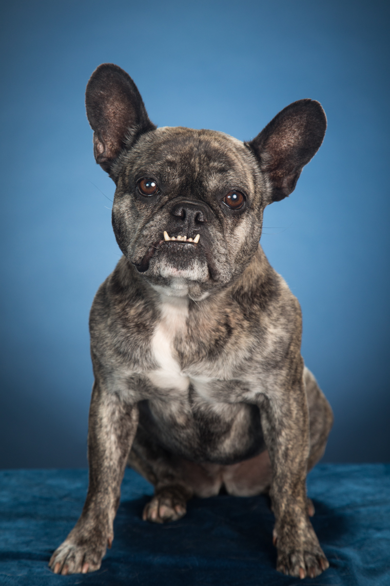 Animal Studio Photography | French Bulldog Portrait by Mark Rogers