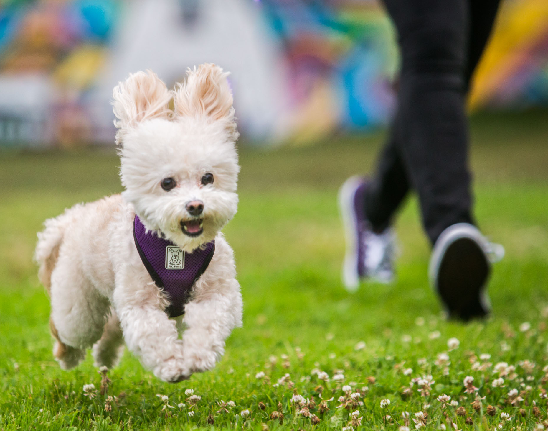Pet and People Photography | Small Dog Running with Woman by Mark Rogers