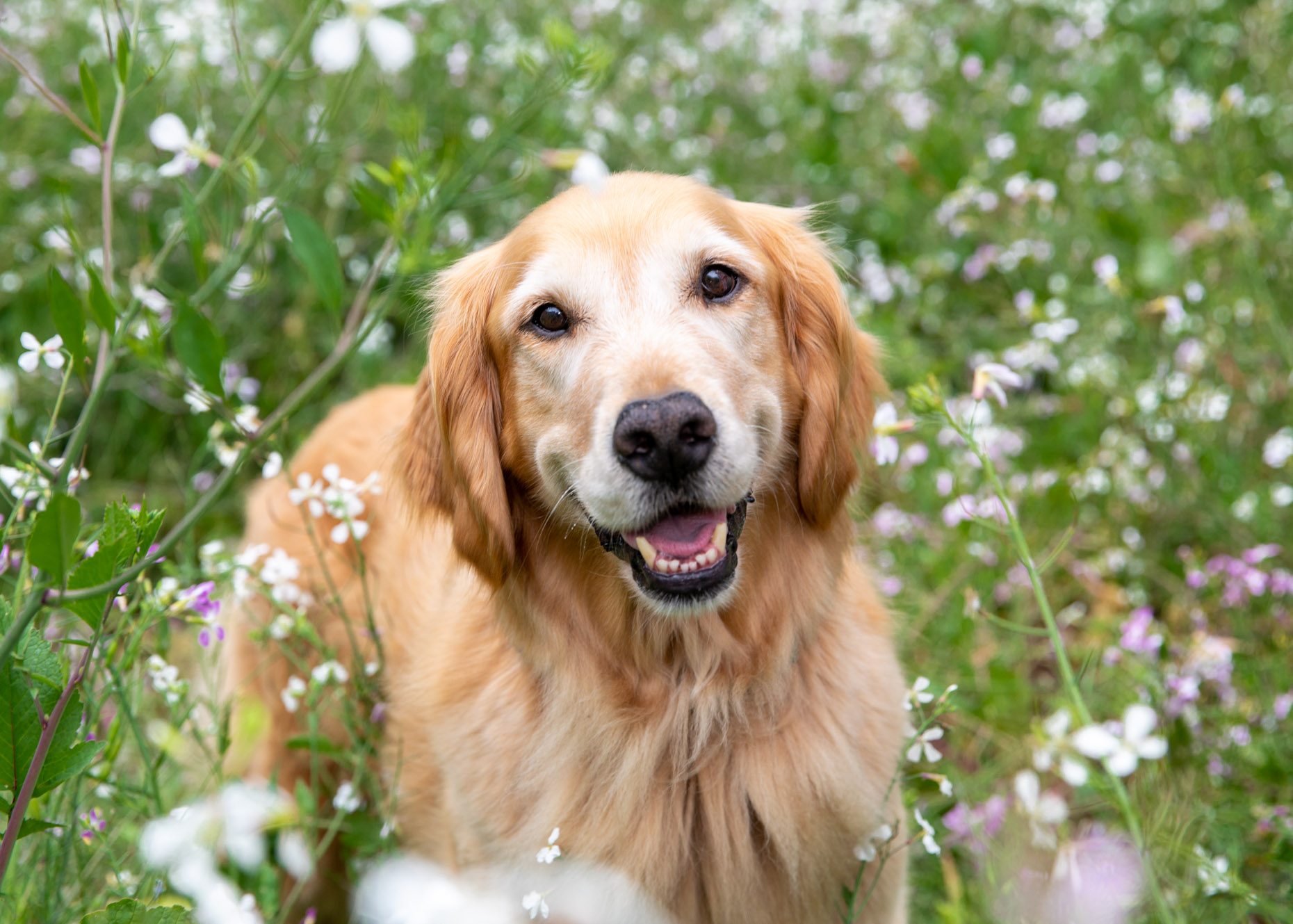 Dog and Pet Photography | Retriever in Wildflowers by Mark Rogers