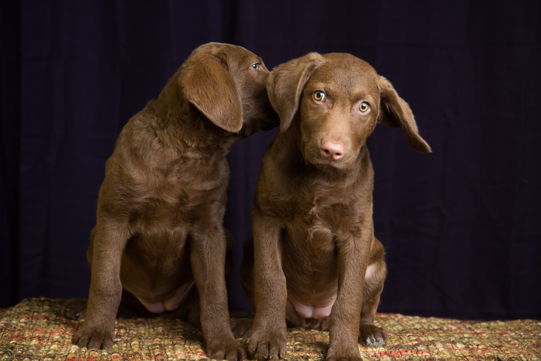 Dog Studio Photography | Two Retriever Puppies by Mark Rogers