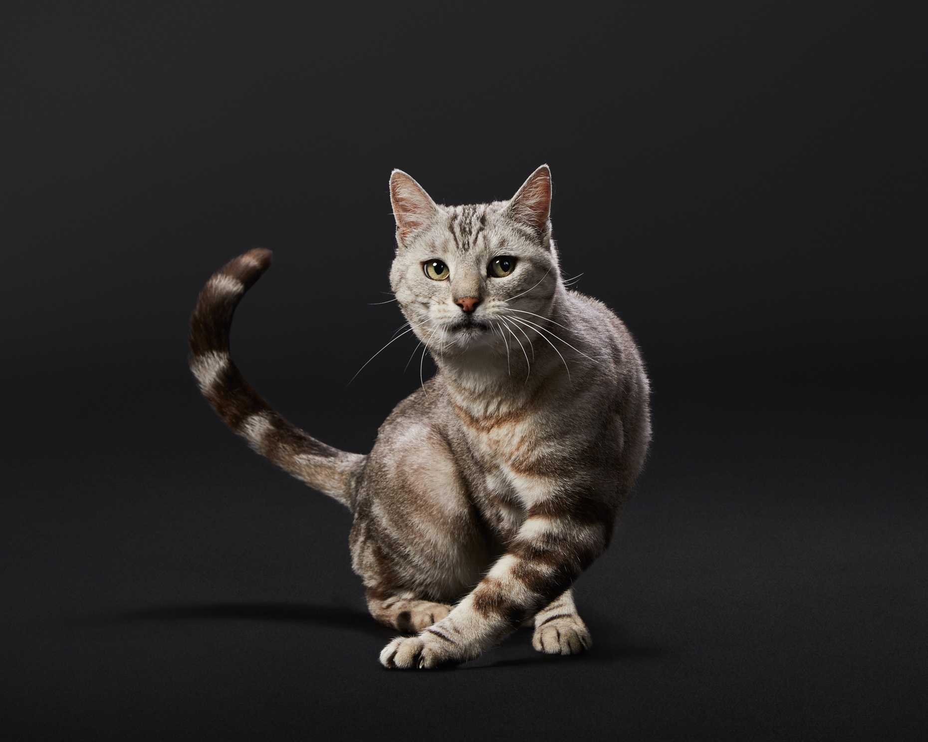 Pet Advertising Photography | Cross-stepping Tabby Cat by Mark Rogers