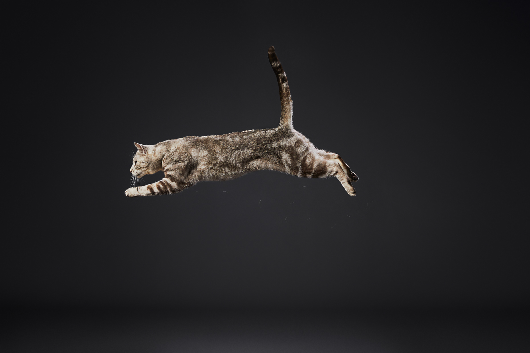 Commercial Pet Photography | Tabby Cat in Mid-Air by Mark Rogers