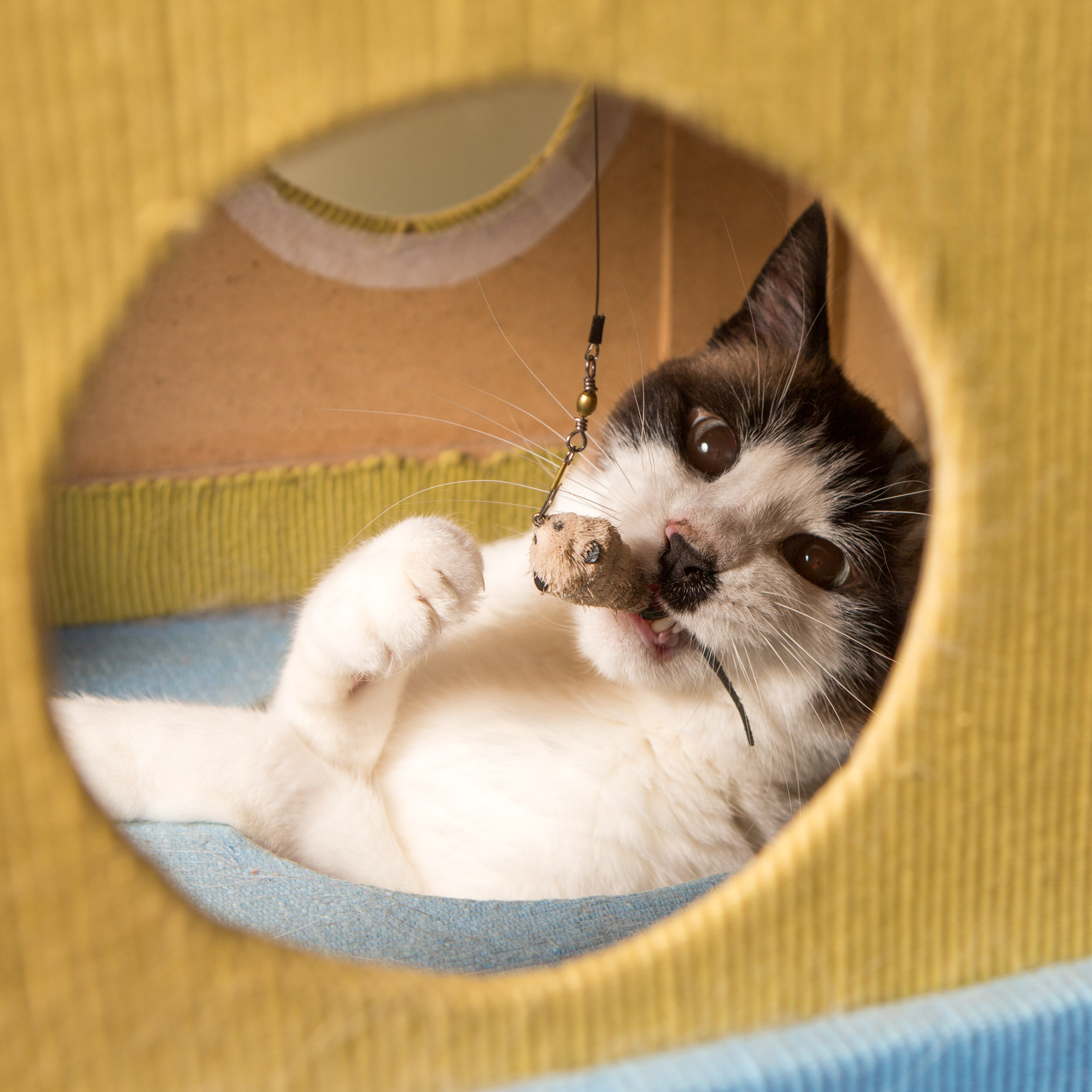 Pet Humor Photography | Cat Chewing Toy by Mark Rogers
