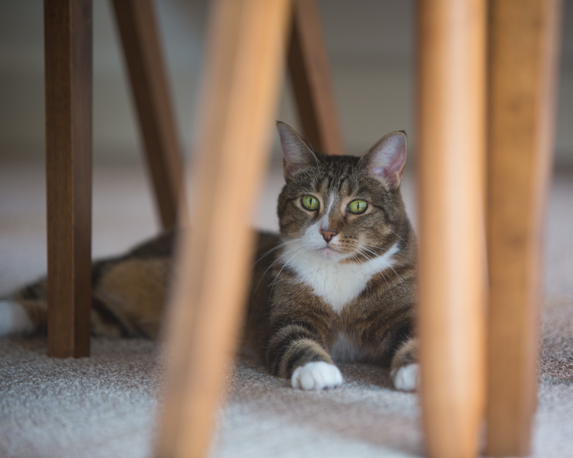Pet Lifestyle Photography | Tabby Cat under Table by Mark Rogers