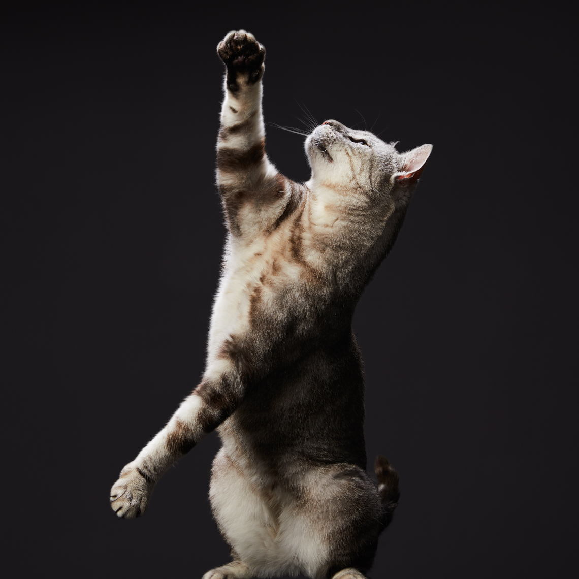 Studio Pet Photographer | Reaching Tabby Cat by Mark Rogers