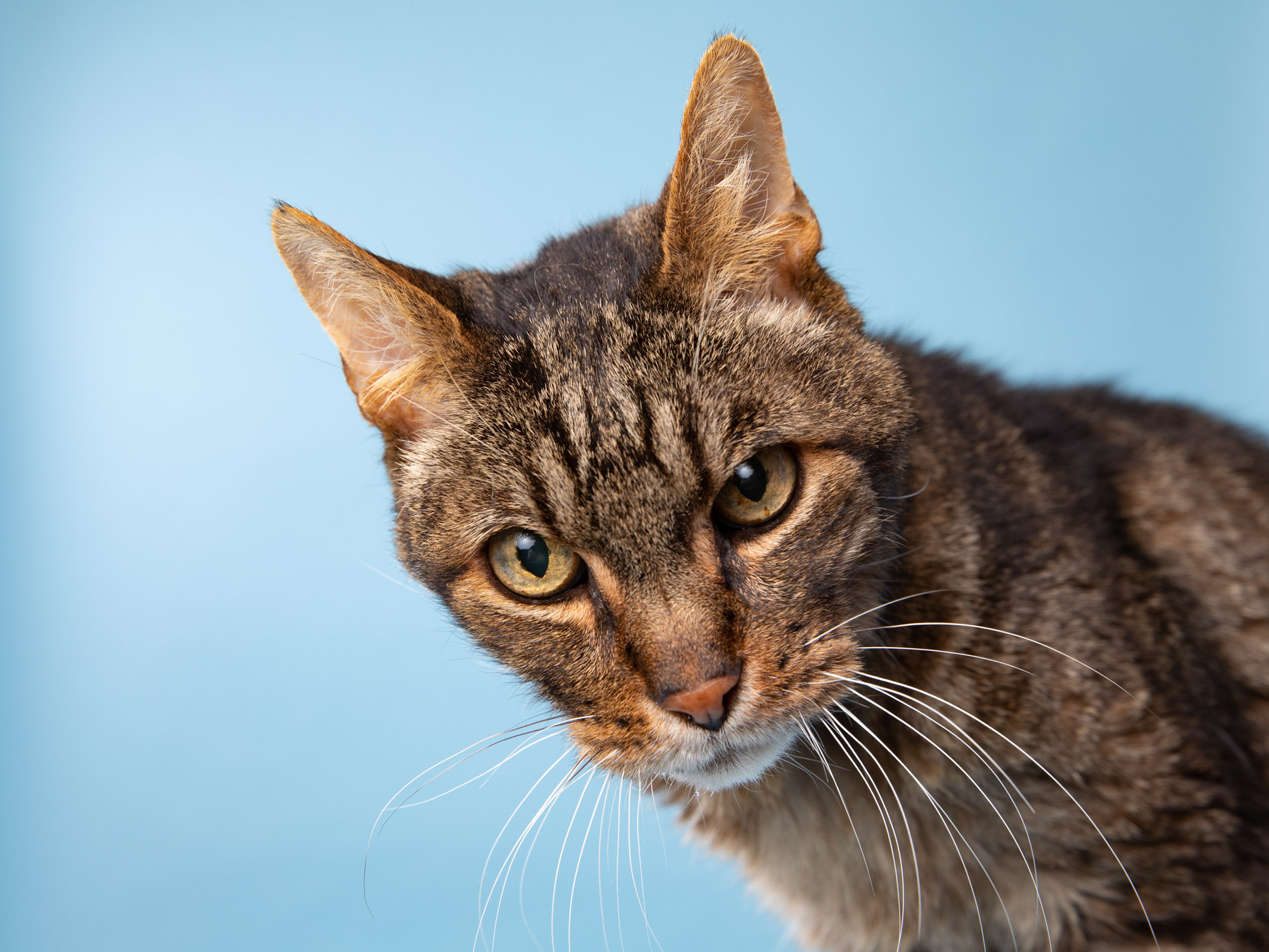 tabby cat against blue background