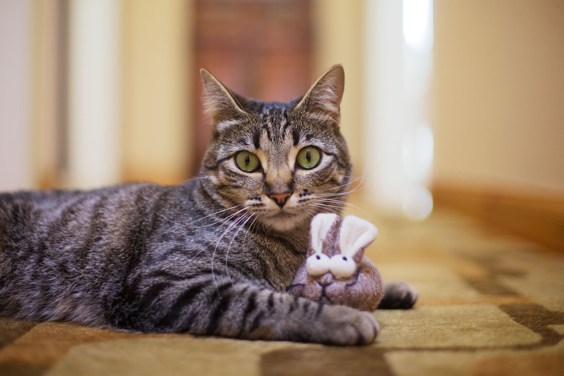 Cat and Pet Photography | Cat with Toy by Mark Rogers