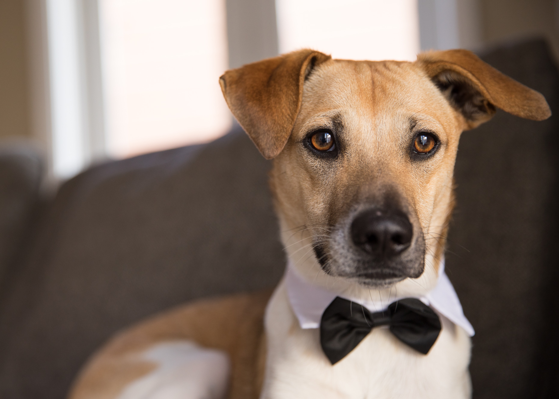 Commercial Dog Photography | Dog with Bowtie by Mark Rogers
