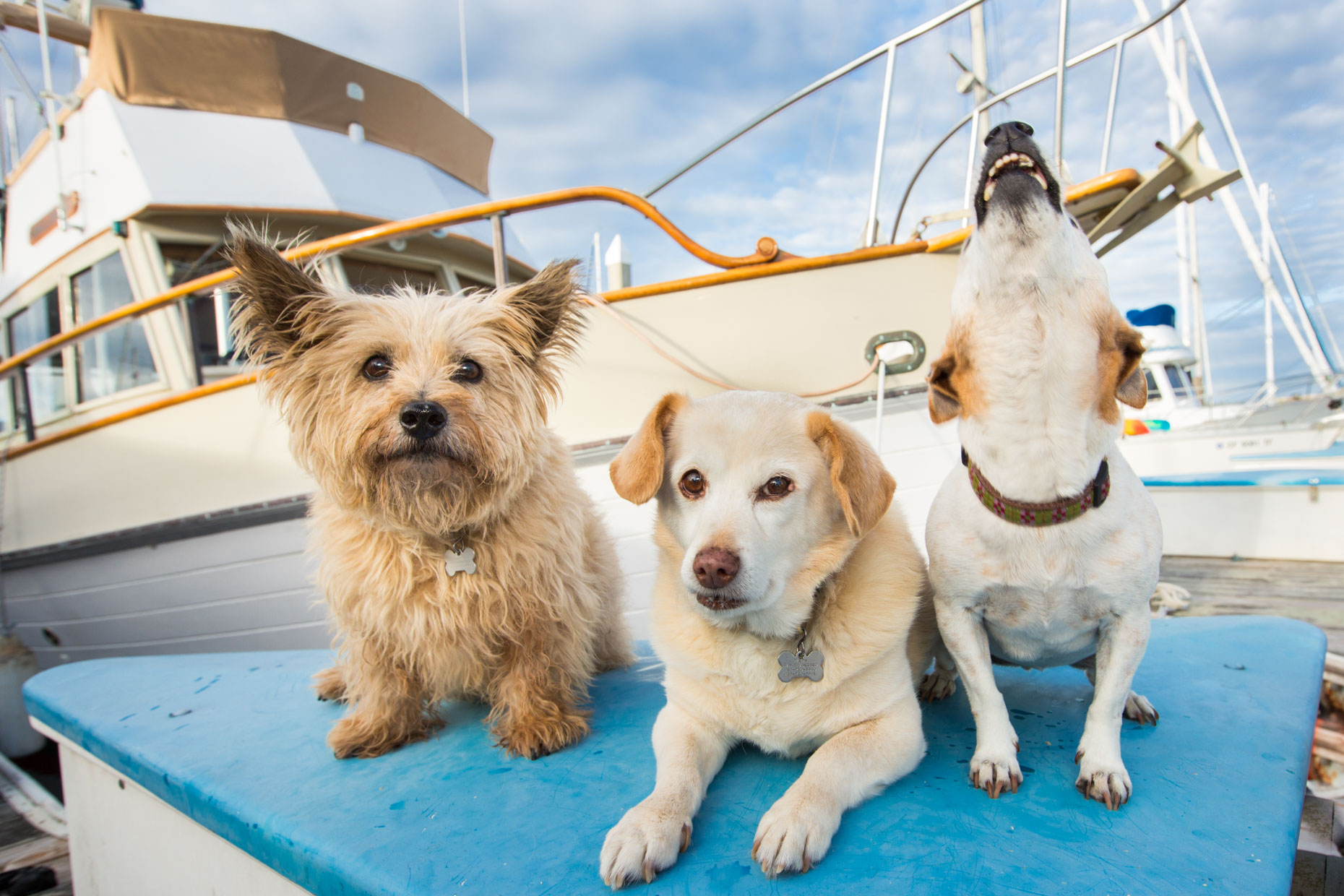Pet Photography  |  Three Dogs on Boat by Mark Rogers