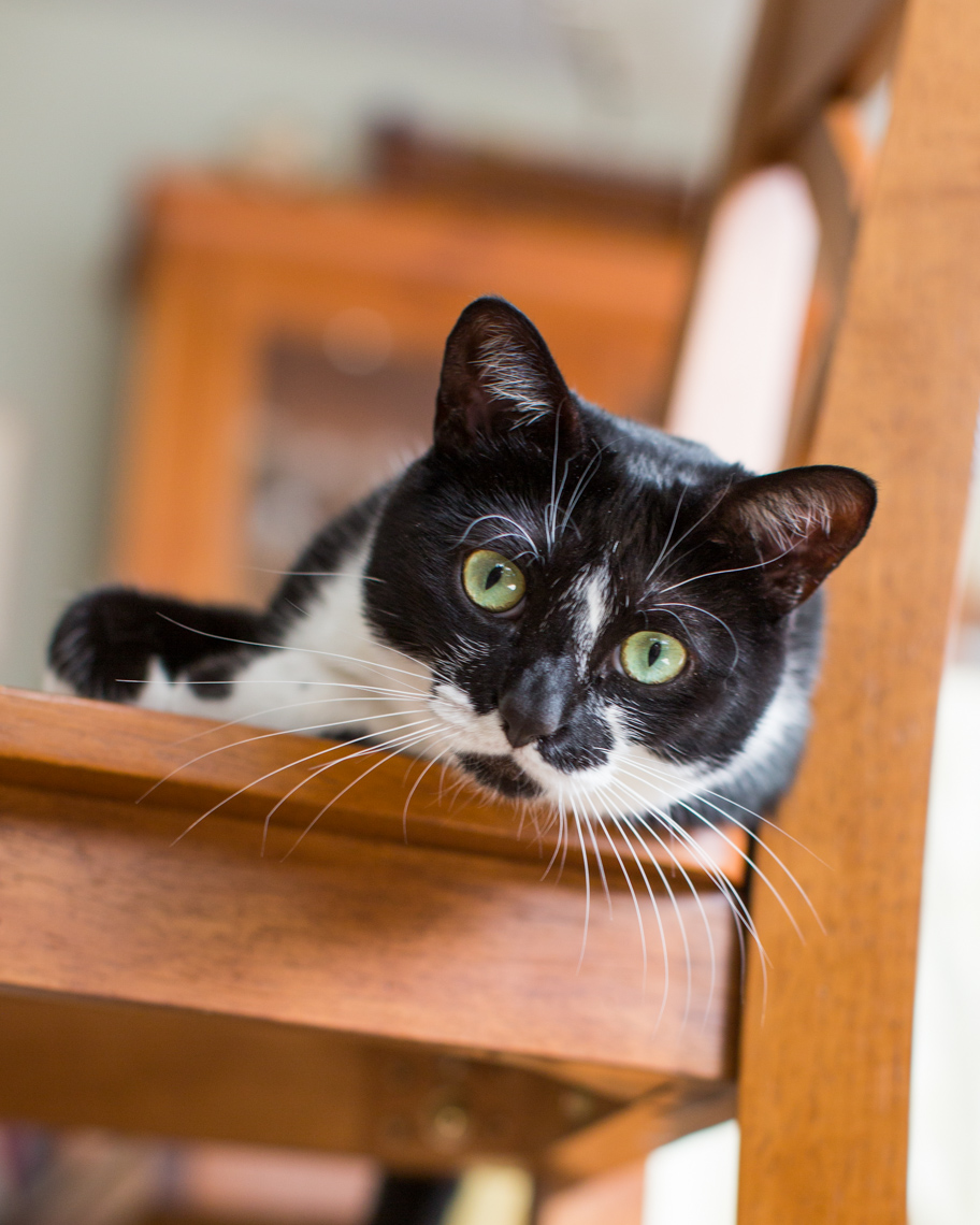 Cat and Pet Photography | Tuxedo Cat on Chair by Mark Rogers