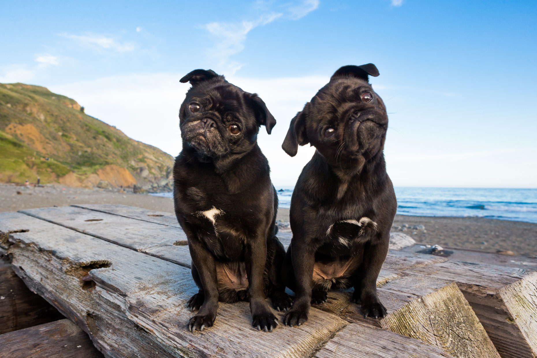 Commercial Dog Photography | Two Pugs by Mark Rogers