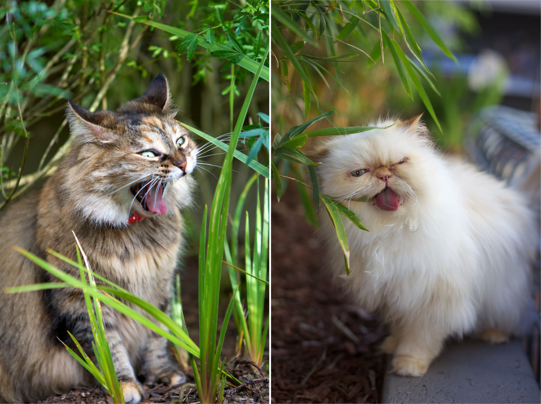 Cat Photography | Two Cats Yawning by Mark Rogers