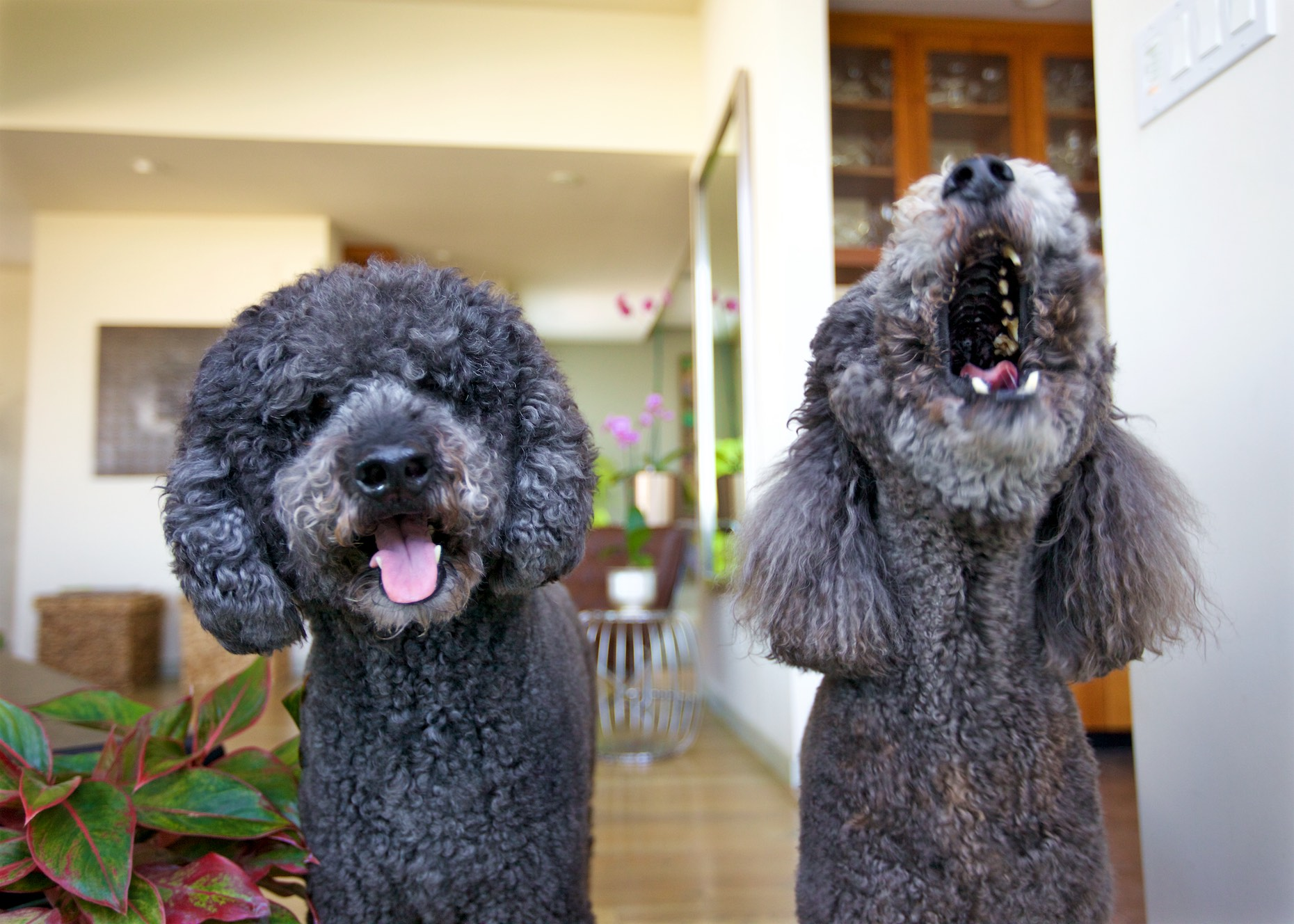 Funny Dog Photography | Two Barking Poodles by Mark Rogers