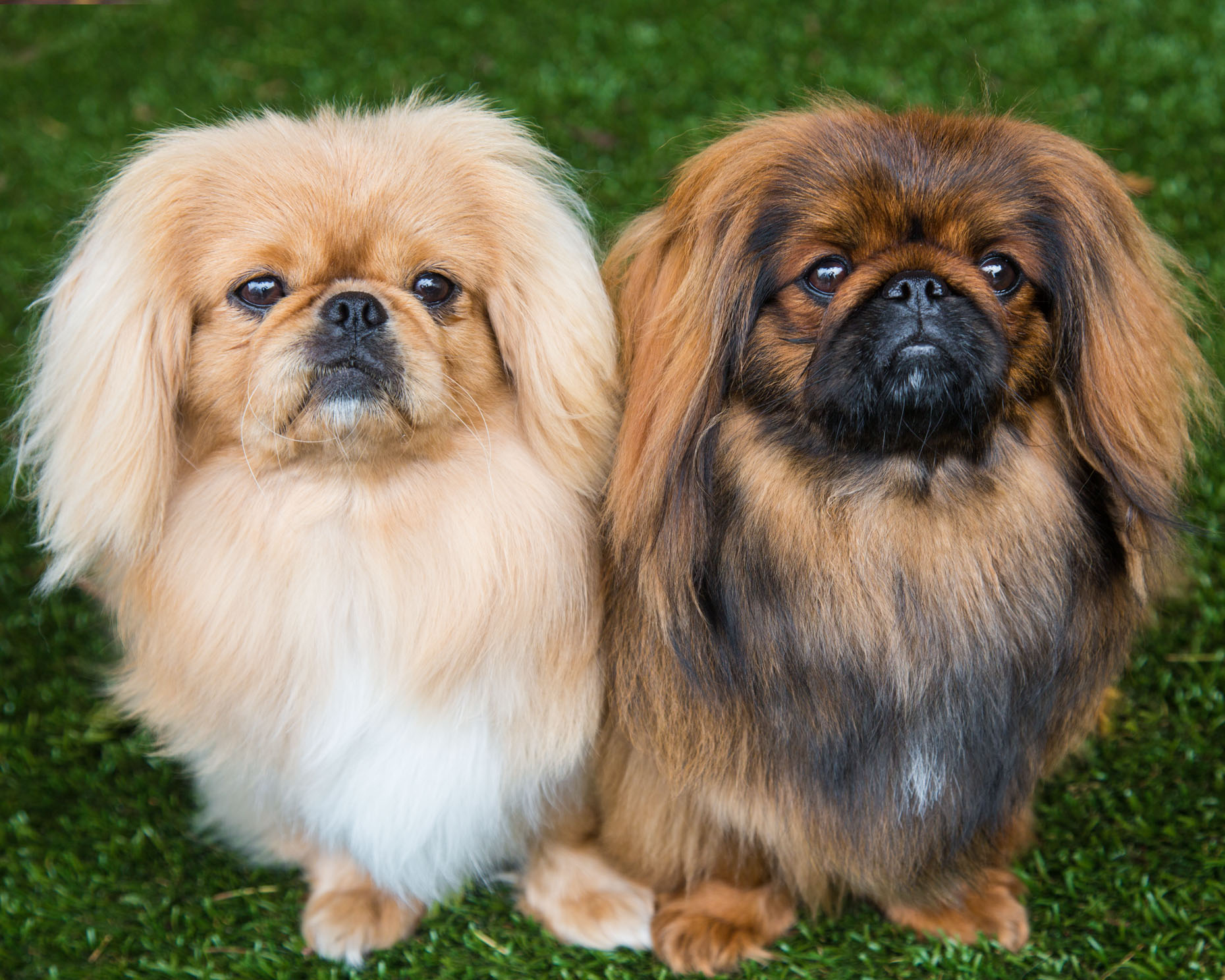 Commercial Dog Photography | Two Pekingese by Mark Rogers