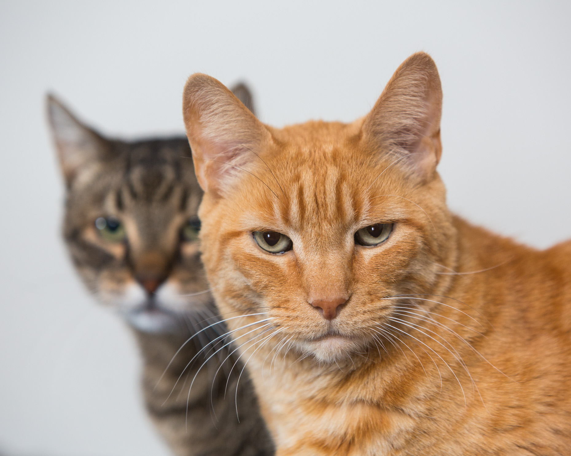 Cat Studio Photography | Close-up of Two Tabby Cats
