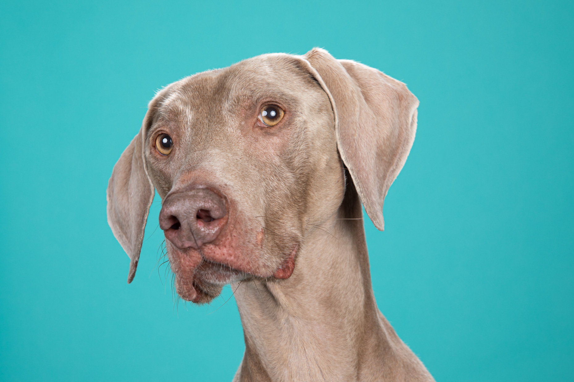 Commercial Dog Photography | Serious-looking Weimaraner by Mark Rogers