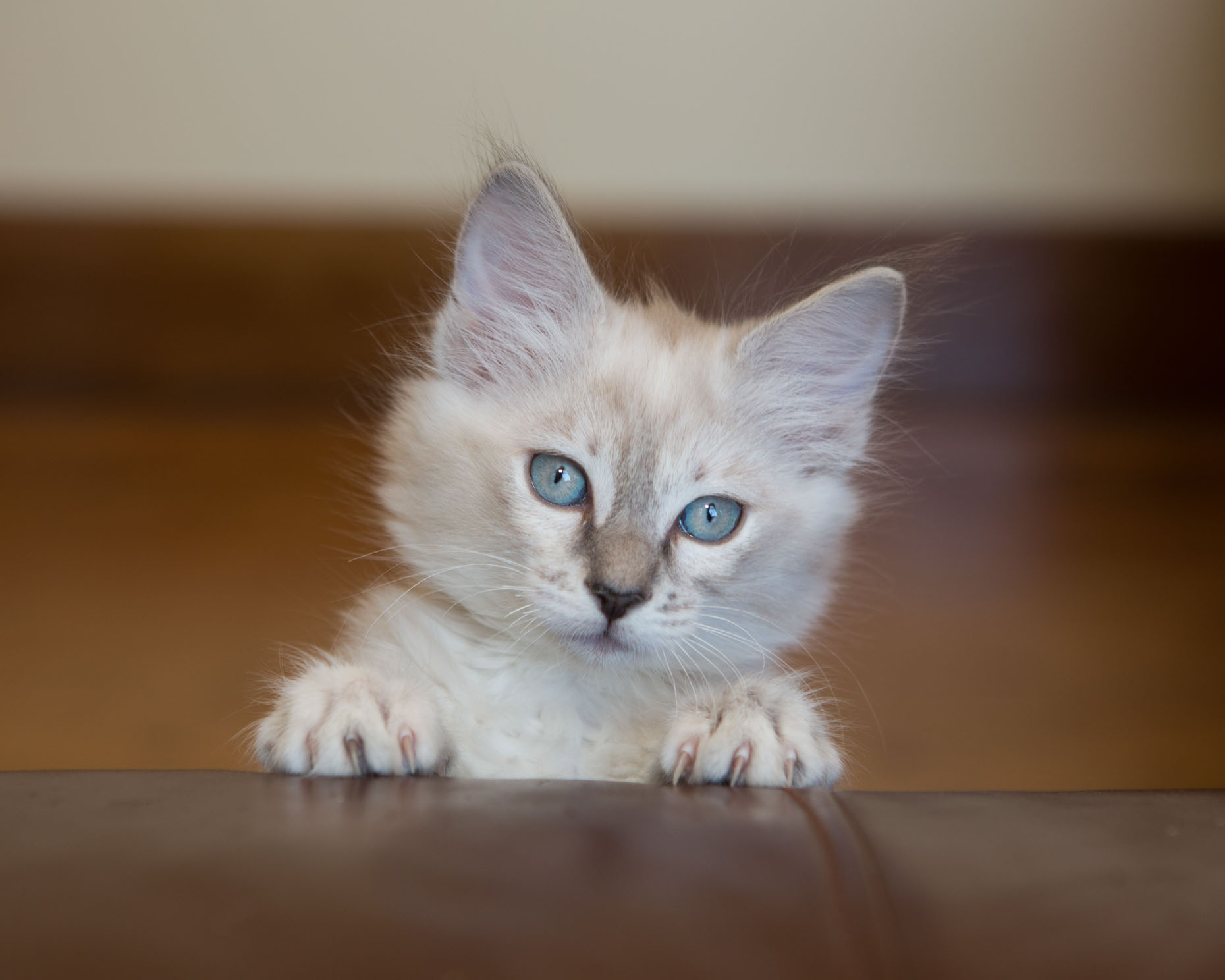 Pet Photography | White Blue Eyed Kitten by Mark Rogers