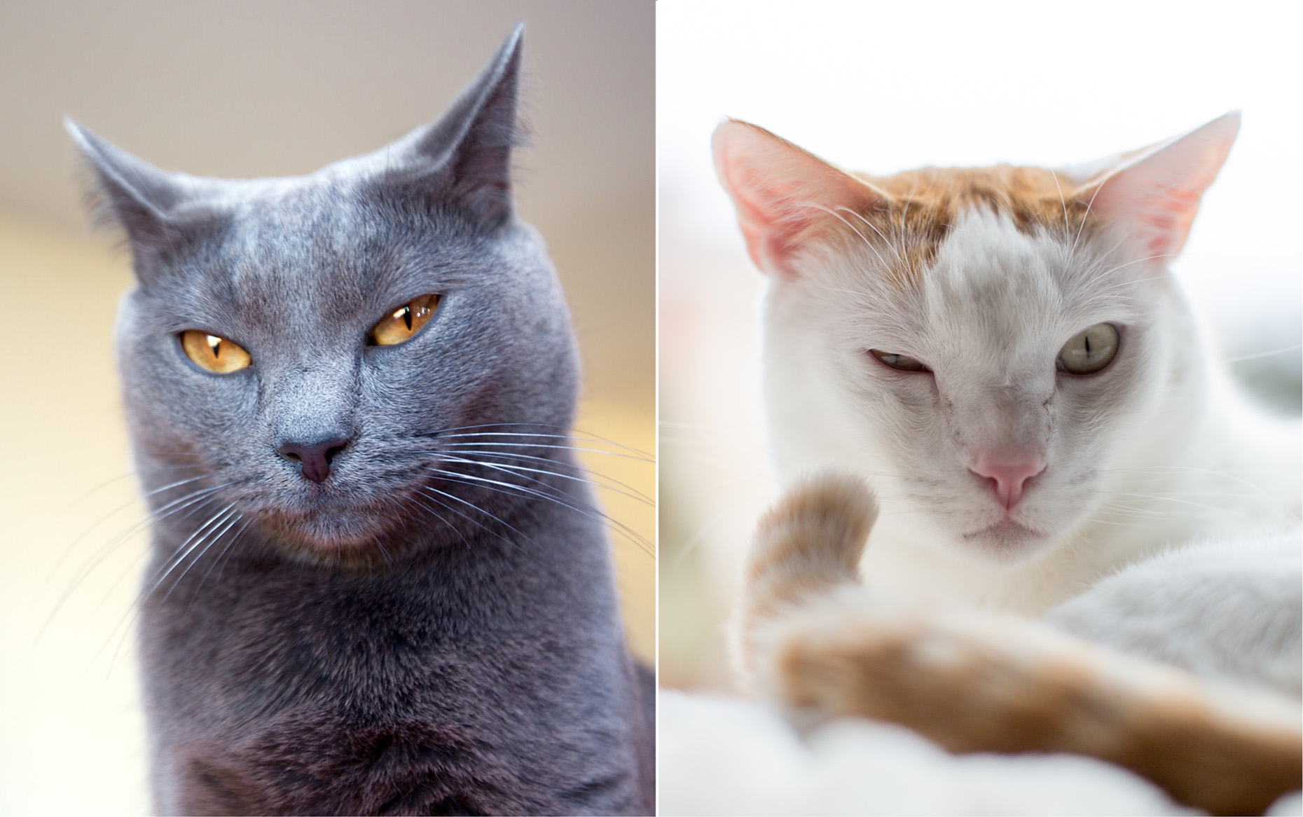 Funny Cat Photography| Grey Cat and White Cat Blinking by Mark Rogers