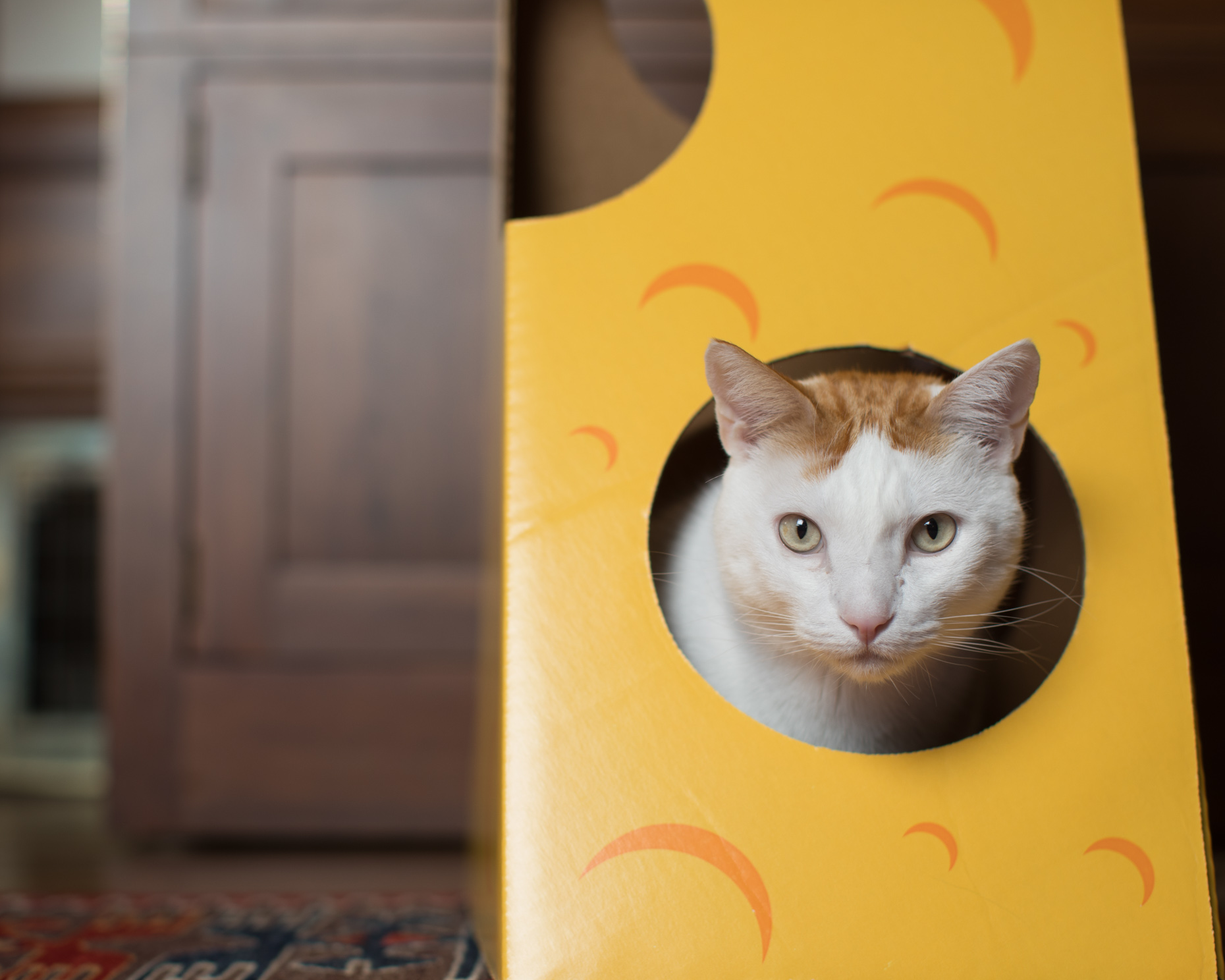 Pet Advertising Photography | Cat with Head Through Hole
