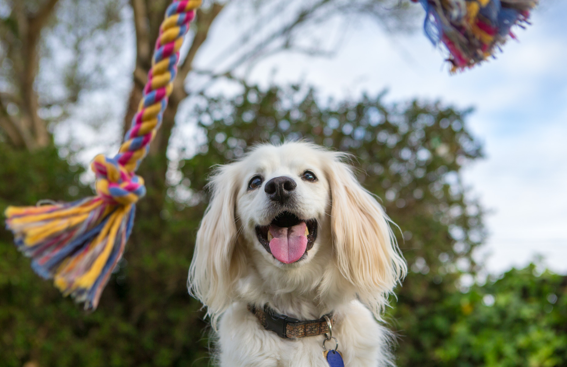 Dog Advertising Photography | Spaniel Looking at Rope Toy by Mark Rogers