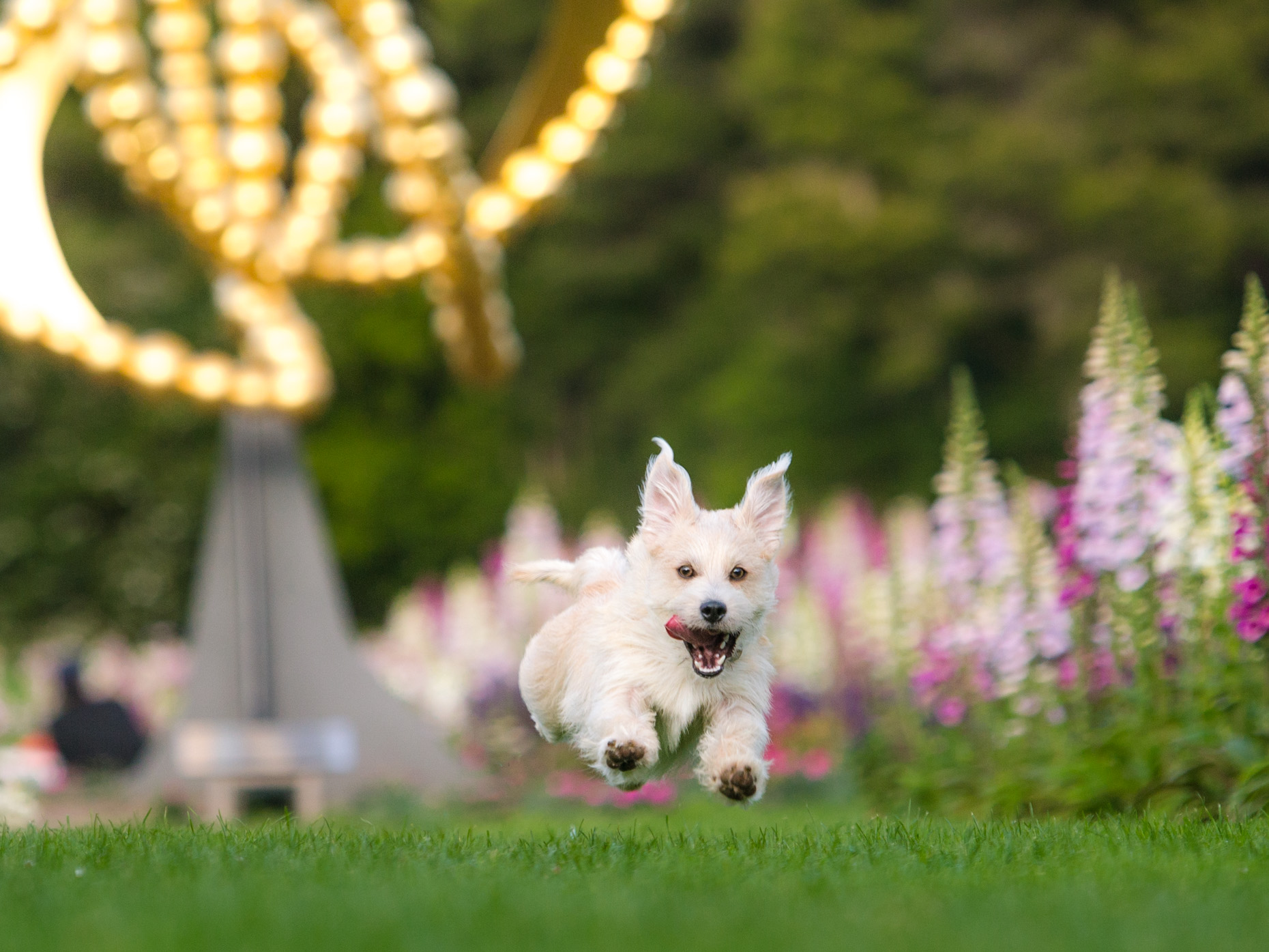 Dog Photography | White Terrier Flying Through Air by Mark Rogers