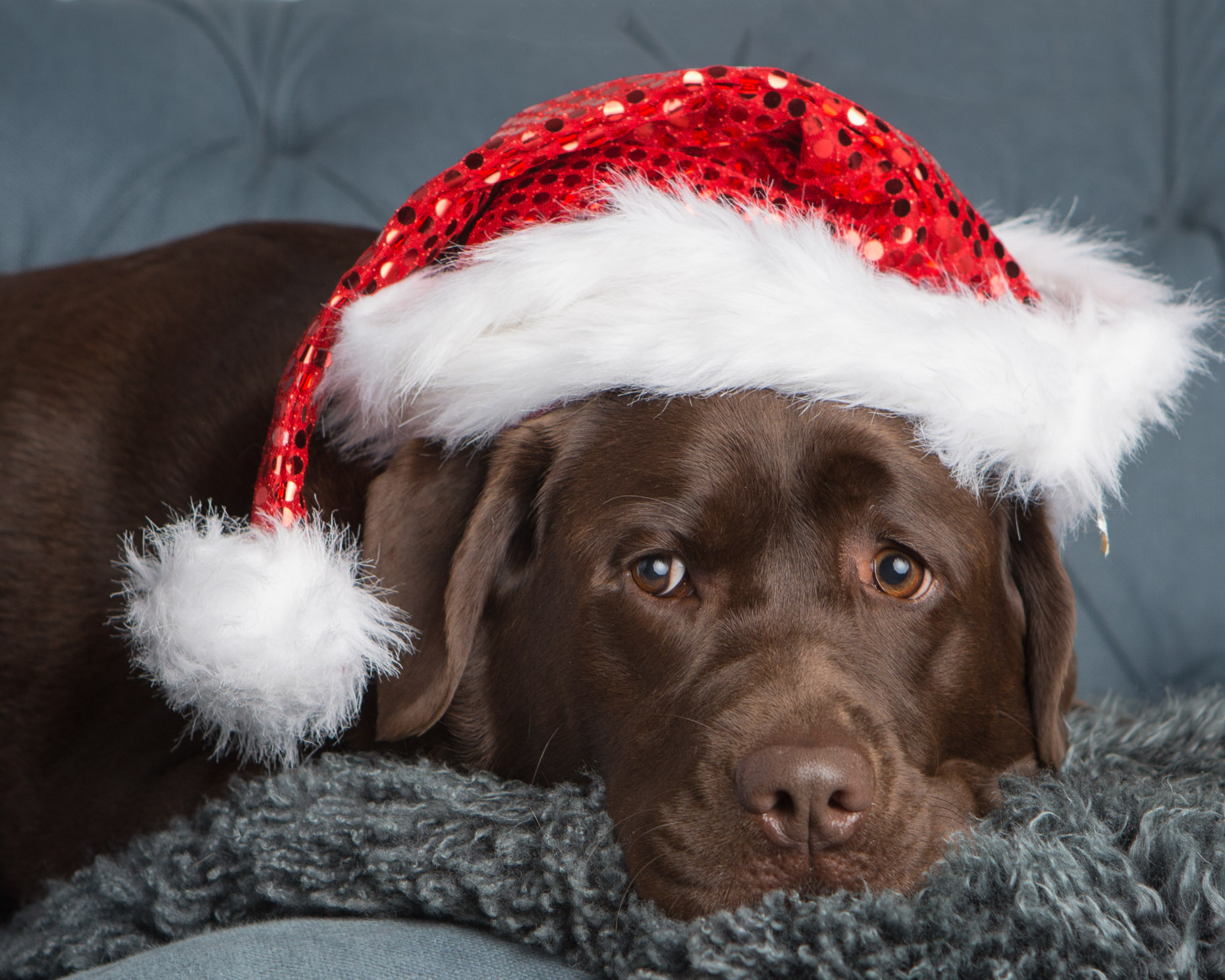 Humorous Dog Photography | Chocolate Lab with Santa Hat by Mark Rogers