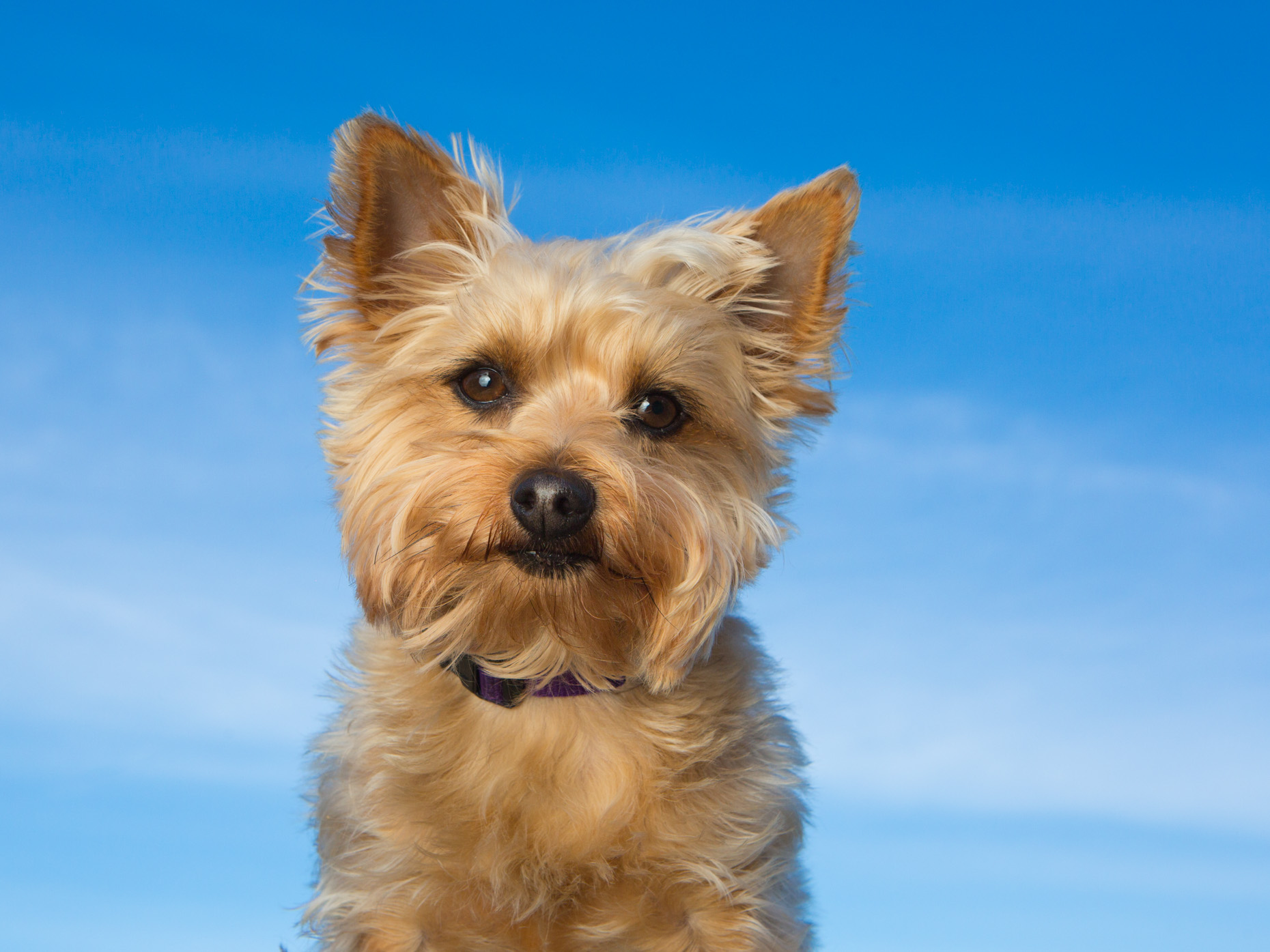 Dog Photography | Yorkshire Terrier against Sky by Mark Rogers