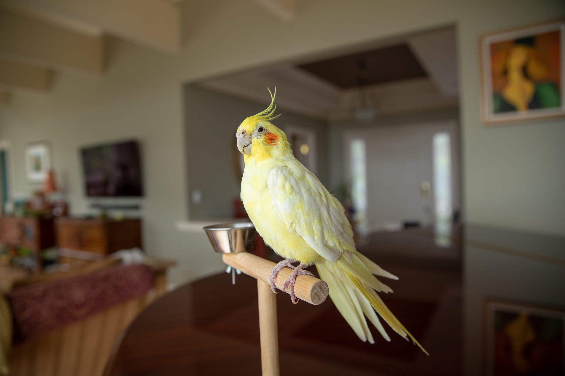 Pet and Bird Photography | Yellow Cockatiel in Room by Mark Rogers