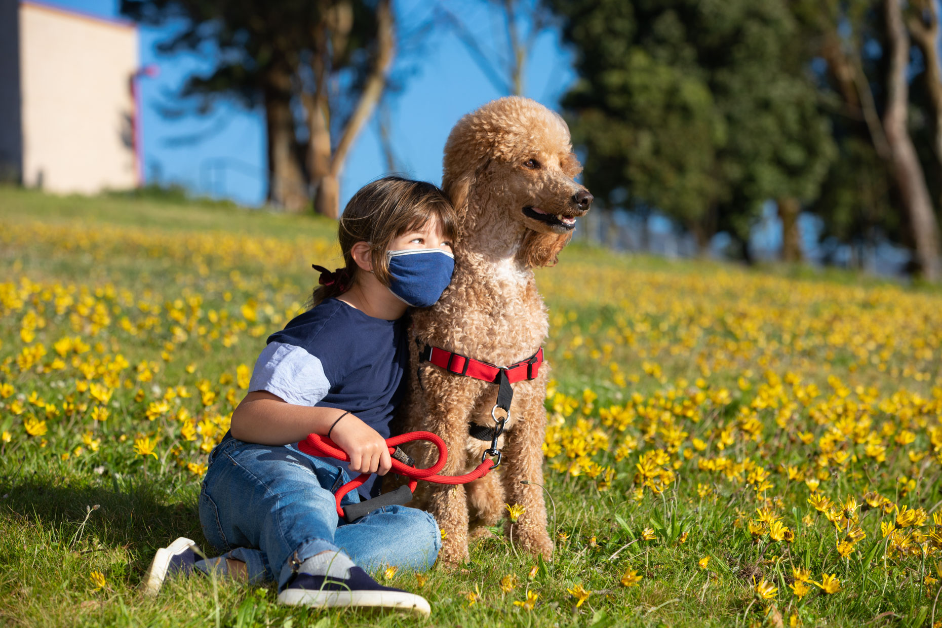 young girl wearing face mask and sitting in dandelion field next to a standard poodle